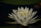 stevedaponte_damselflyonwaterlilly_img6420