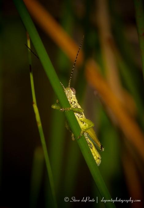 stevedaponte_grasshopper_img6452