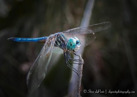 blue_dragon_imgPB070063