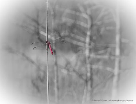 reddragonfly_PB010055