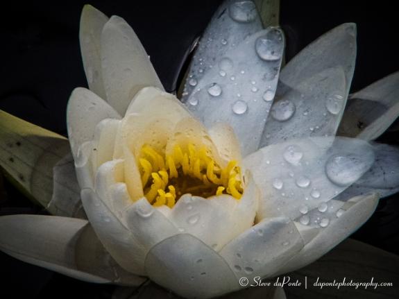 steve_daponte_waterflower_pb22096