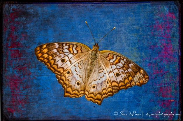 steve_daponte_compbutterfly_img7118