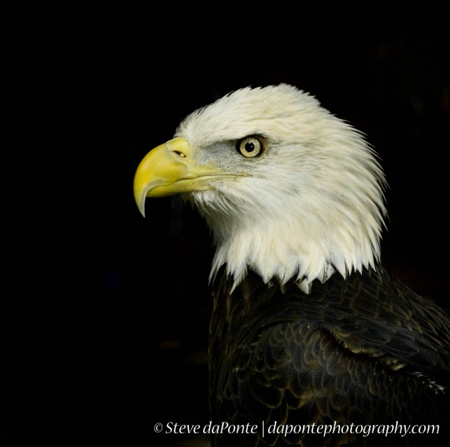 steve_daponte_eagle_dsc02345