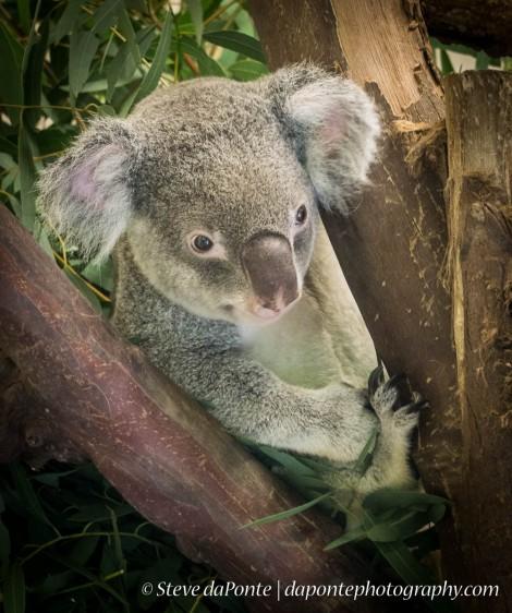 steve_daponte_koala bear_dsc02626