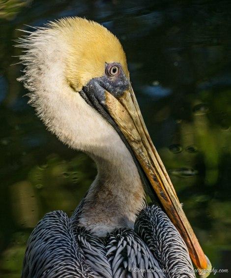 steve_daponte_pelican_dsc02820