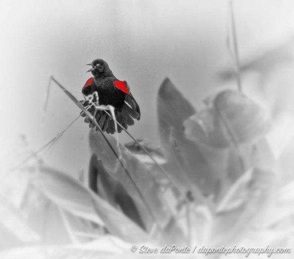 steve_daponte_redwing_blackbird_img9695