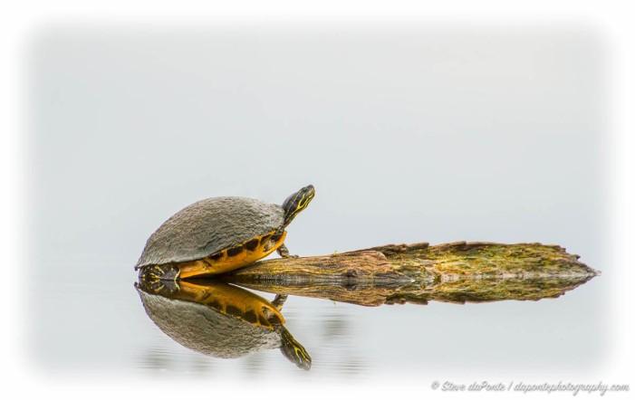 steve_daponte_turtle_img9631