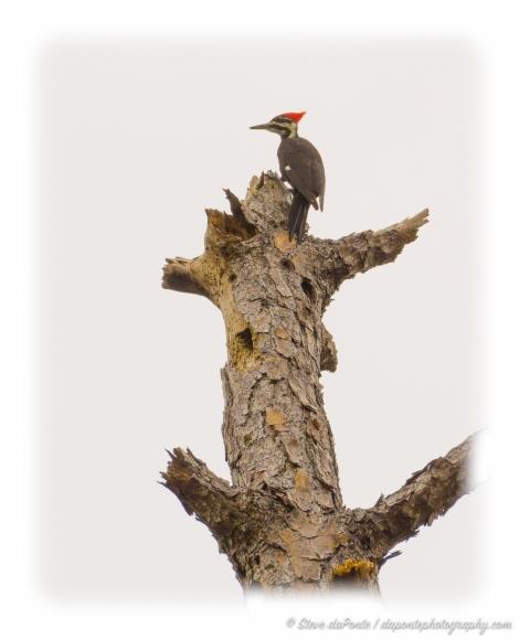 steve_daponte_woodpecker_dsc03554
