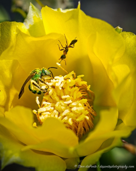 Green Bee and Ant Enjoying a Yellow Cactus Flower