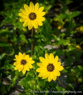 stevedaponte_yellowwildflowers_DSC08540
