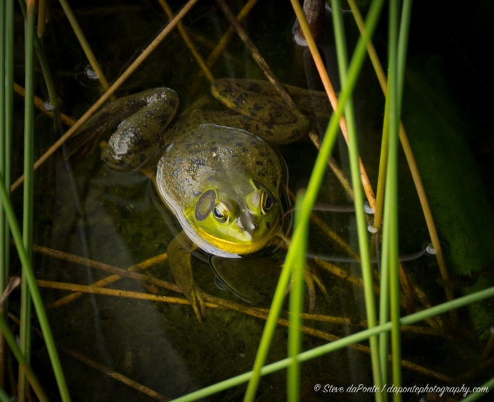 stevedaponte_grassywaters_bullfrog_DSC09433