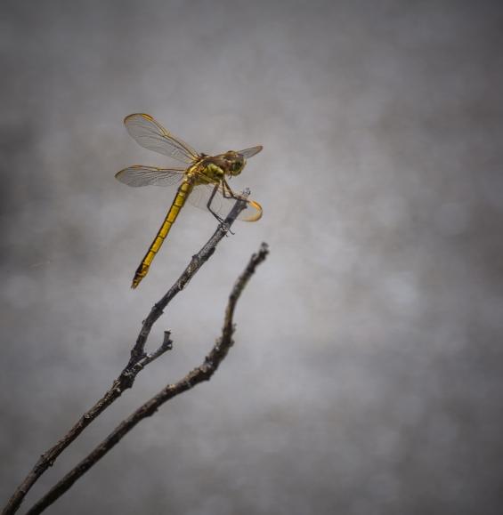 stevedaponte_yellowdragonfly_DSC00435