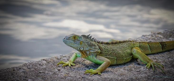 stevedaponte_iguana_dsc02986