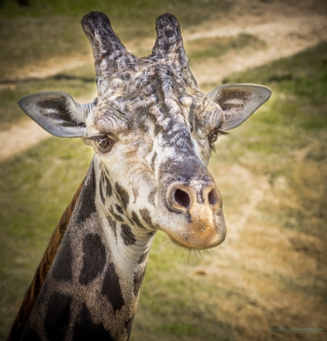 steve_daponte_giraffe_dsc05931