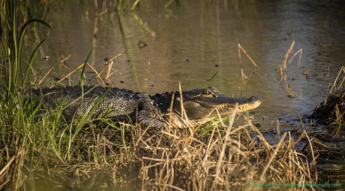 steve_daponte_aligator_dsc00113